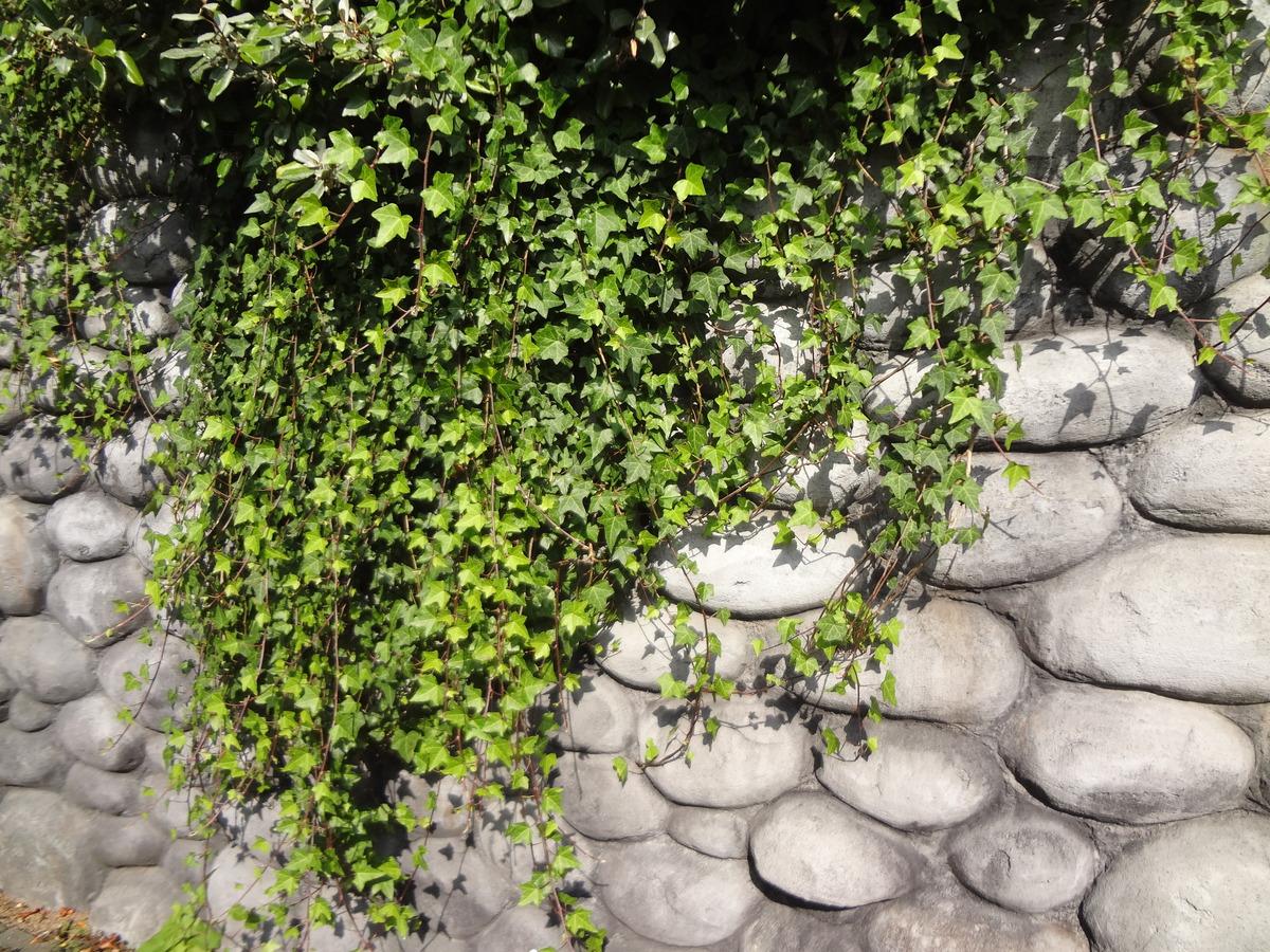 Efeu Grossblättriger Irischer Efeu Hibernica 80 Cm