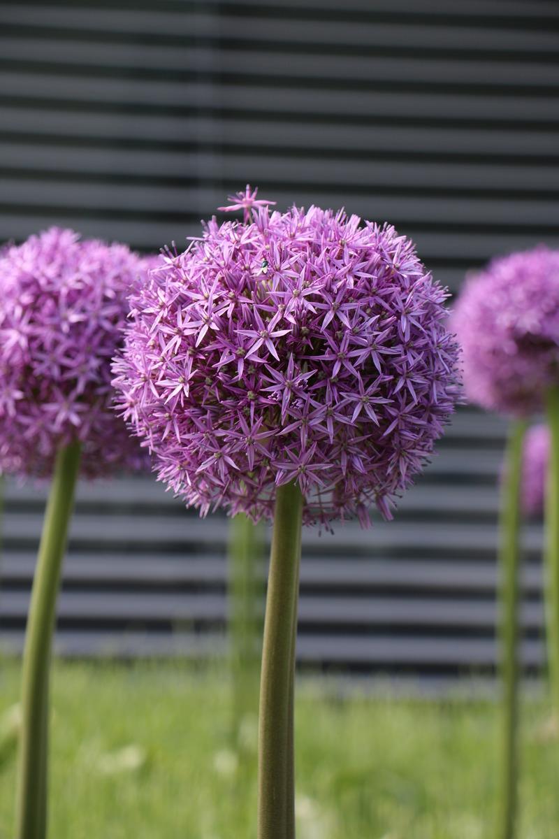 Zierlauch Allium globemaster Luberach