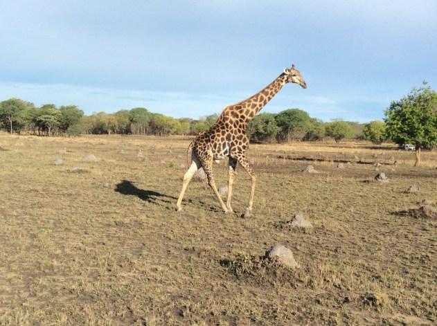 Giraffe :-)