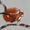 Agosto2017 - IL ROSCIO IN ESTINZIONE - sciurus vulgaris - scoiattolo rosso. Pittura lavabile su legno 30x30.