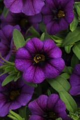 Calibrachoa hybrida Minifamous Neo Royal Blue  Lucas