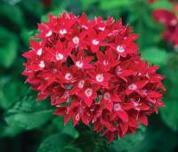 Pentas lanceolata Starcluster Red
