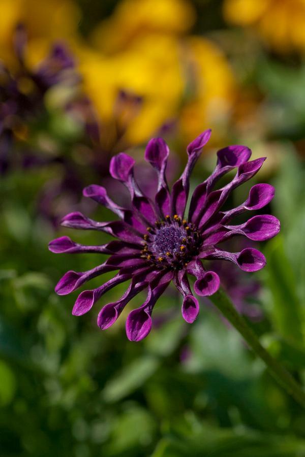 Osteospermum Ecklonis FlowerPower Spider Purple Lucas