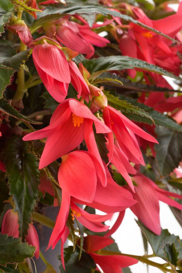 Begonia Boliviensis Waterfalls Encanto Pink Lucas