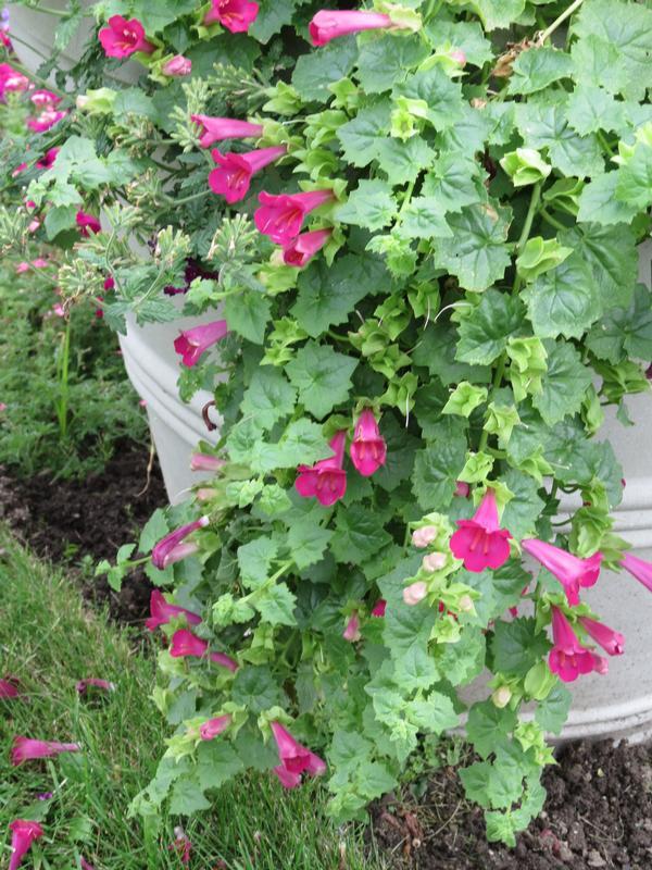 Lophospermum Hybrid Lofos Compact Rose Lucas Greenhouses