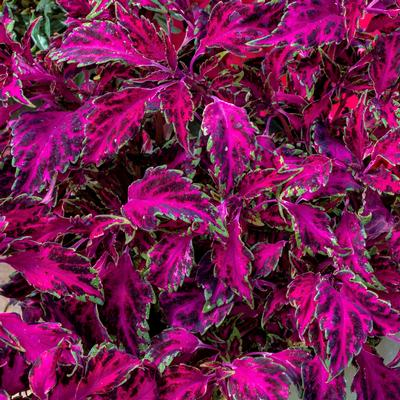 Coleus Scutellarioides Party Time Pink Fizz Lucas