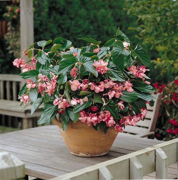 begonia x hybrida dragon wing pink