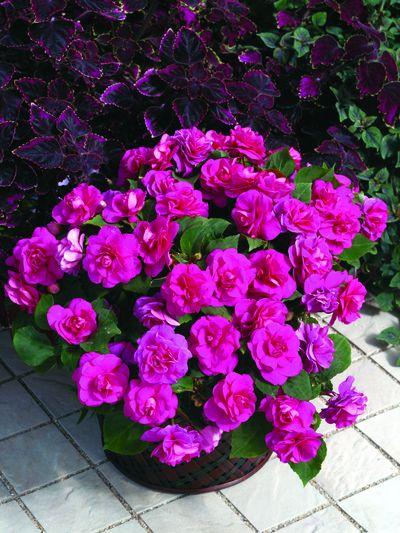 Shade Loving Plants Hanging Baskets