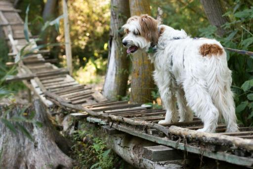 perro en puente de madera