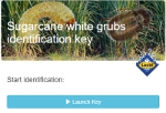 Sugarcane white grubs