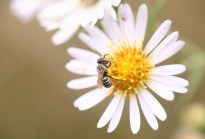 Mason bee on aster chilensis