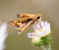 fiery skipper on aster chilensis
