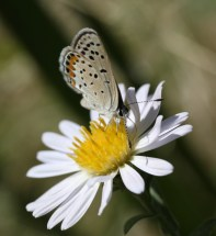 Acmon Blue butterfly on Aster chilensis