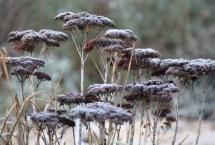 sedum spectabile in winter