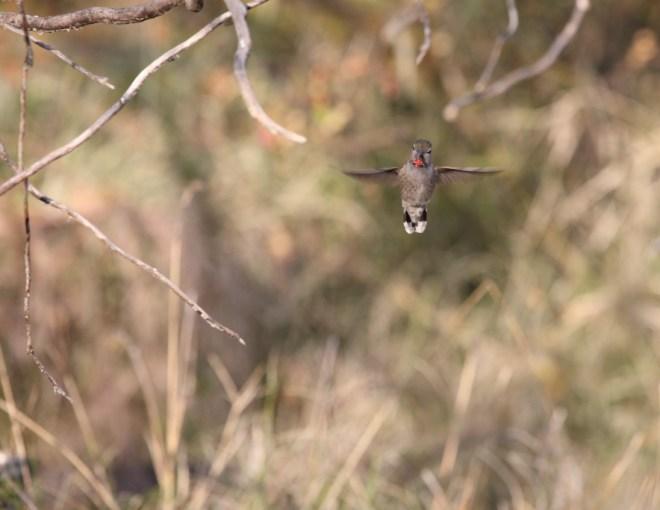 Hummingbird 0259