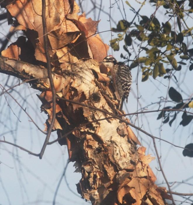 Woodpecker 0121