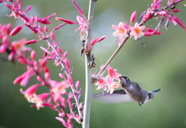 Red yucca (Hesperaloe) is a hummingbird favorite (the leaf-legged bugs like it too, it seems)