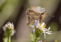 The most common visitors, skippers fly quickly between flowers.