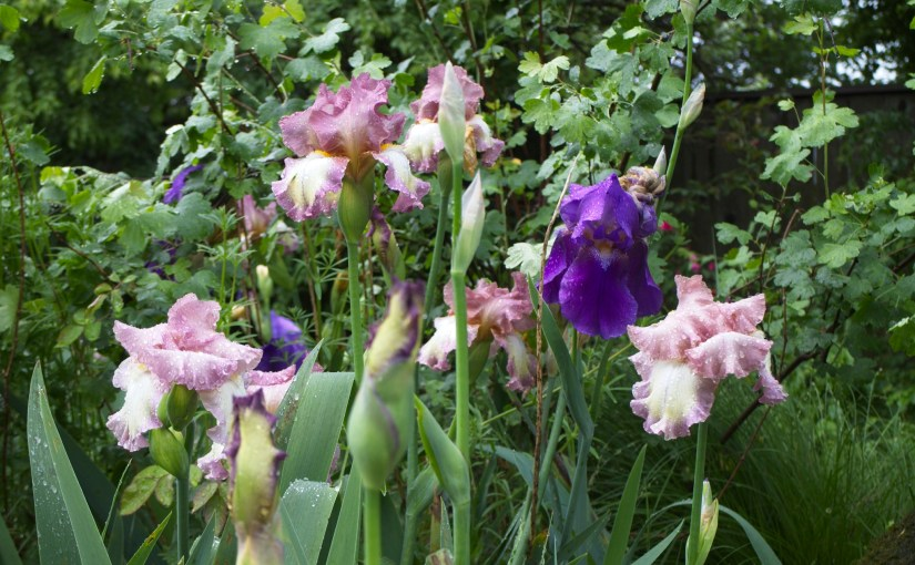 Using irises in the garden
