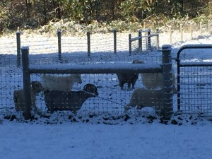 The goats in the snow covered pasture.