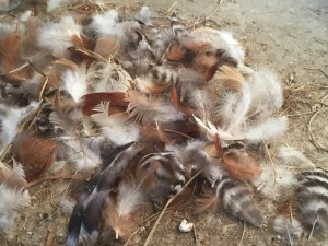 Pile of chicken feathers.