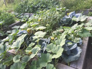 Squash and Cabbages in our garden (2016).