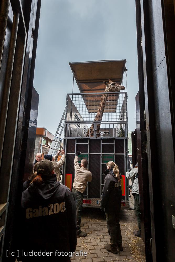 Giraffe Jimiyu verhuist van Gaiazoo naar Spanje