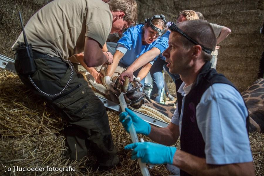 Giraffe Nok uit Gaiazoo werd aan zijn mond geopereerd, en redde het helaas niet.