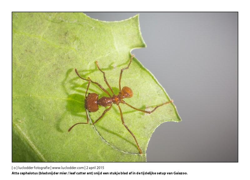 Atta cephalotus (bladsnijder mier / leaf cutter ant) snijd een stukje blad af. Deze kolonie komt in het nieuwe Terrarium van Gaiazoo