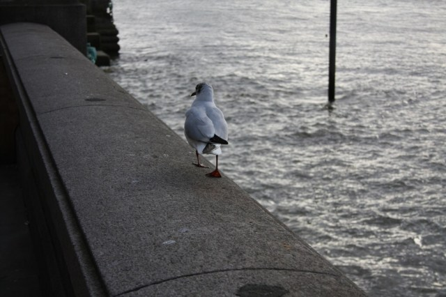 seagull in london