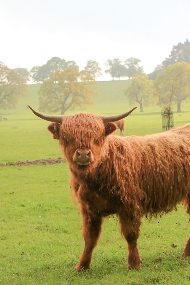 highland cows at harewood holidays