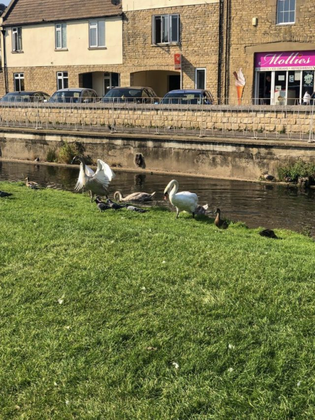swans, cygnets and ducks on Stamford river bank