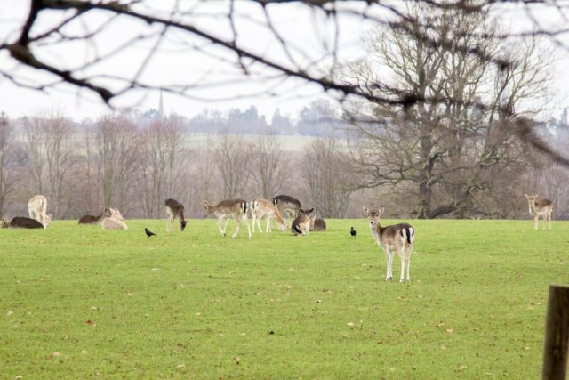 deers at burghley house