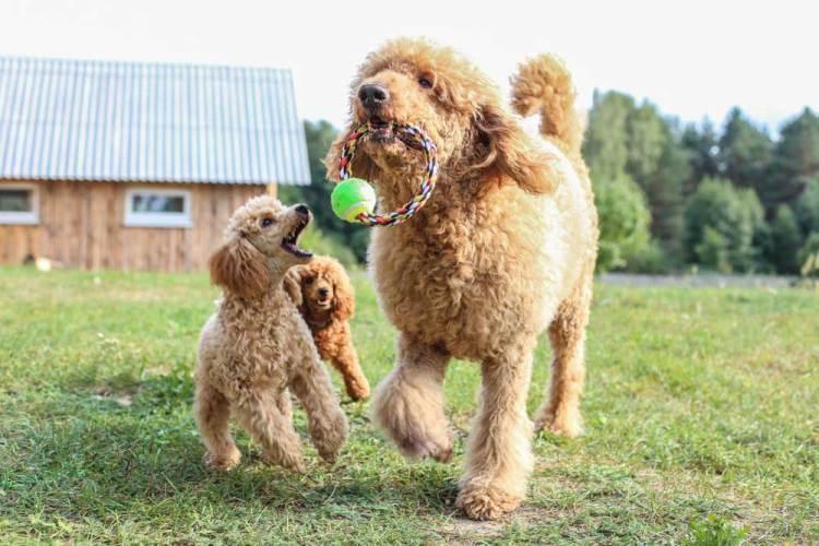 Một số thông tin thú vị về chó Poodle khác 2