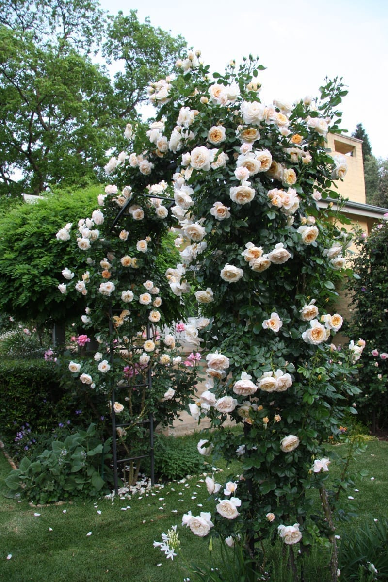Climbing Roses Ludwig S Roses