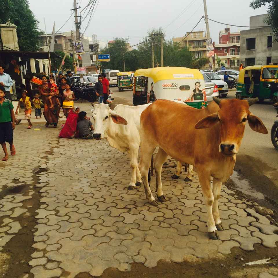Las vacas son animales sagrados en la India