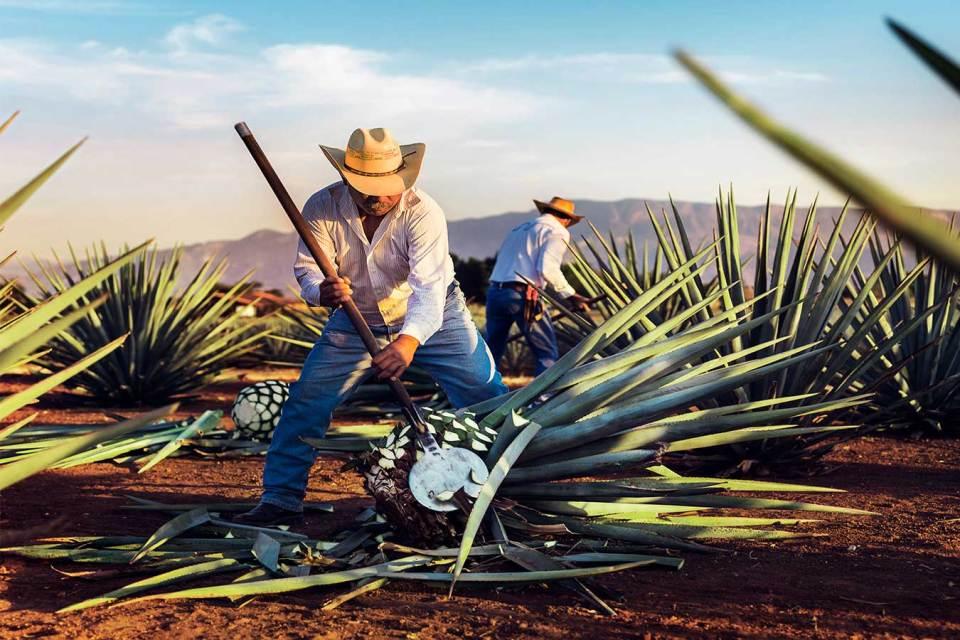 Los jimadores son los trabajadores del campo en Tequila