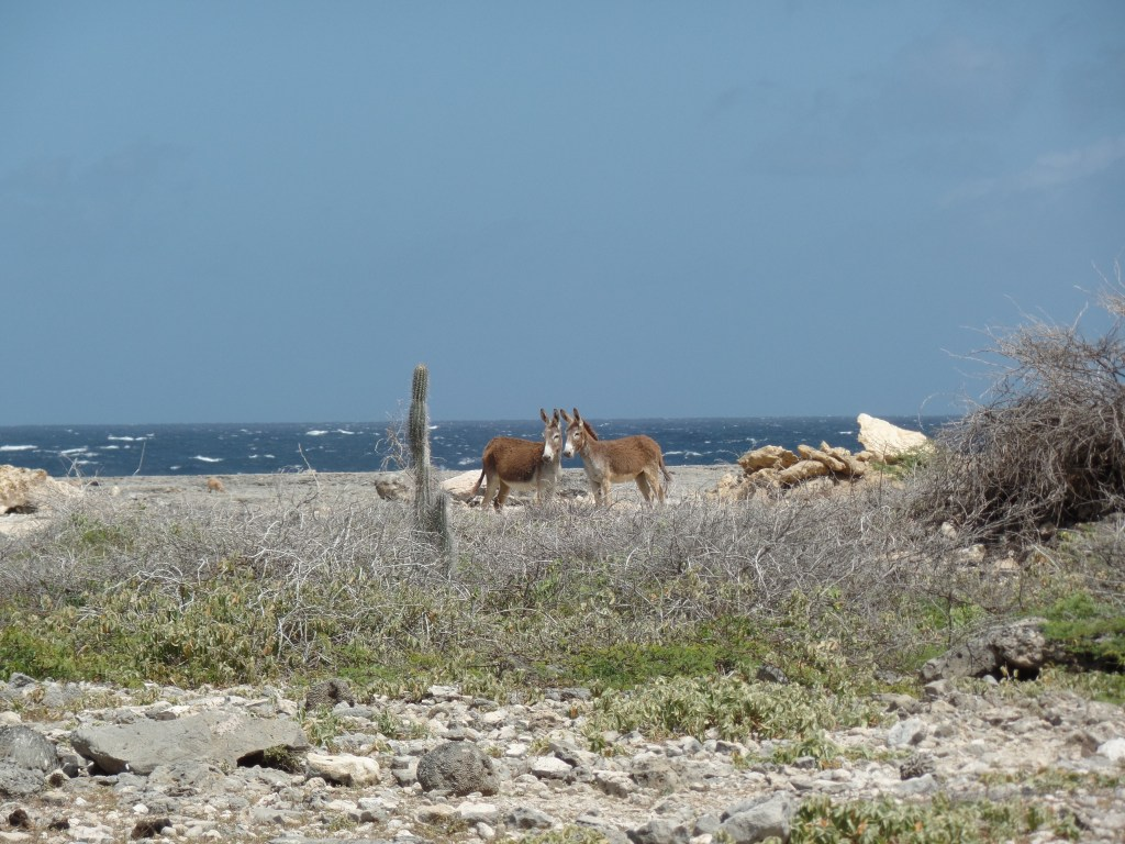 Wild Donkeys on Bonaire