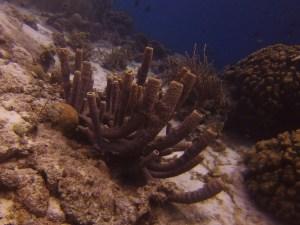 Coral Bonaire