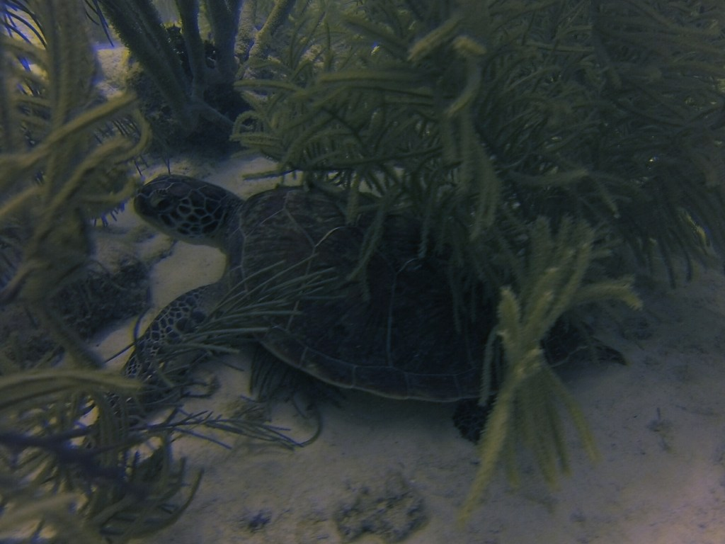 Sea Turtle Bonaire