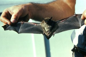 a bat living among humans