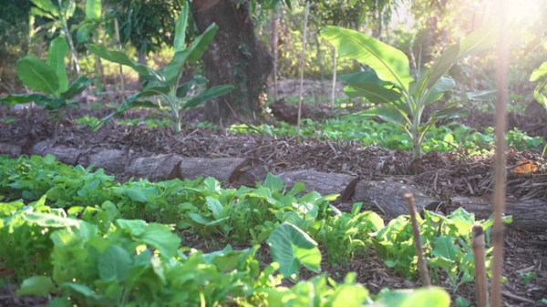 Na Agricultura Sintrópica, várias especies e plantas crescem e vicejam lado a lado, como acontece no meio natural.