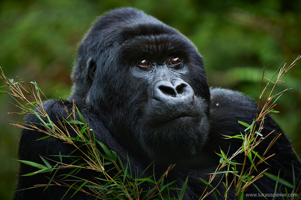 Agashya is a silverback mountain gorilla in Rwanda. Mountain gorillas live in groups of one adult male, the silverback, and a number of females. Silverback gorilla can reach a height of more than 2 meters and a weight of more than 200 kilograms.