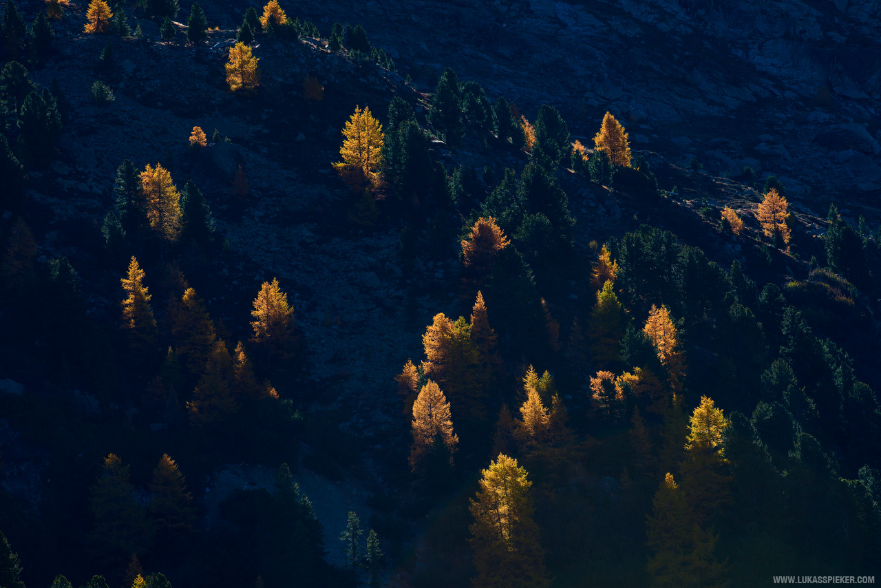 Larches in Switzerland's Engadin valley.