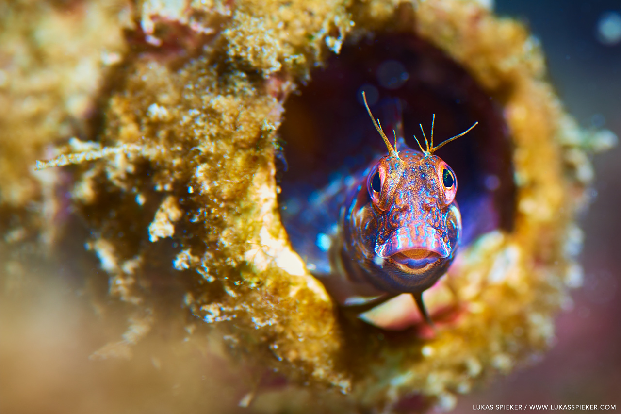 A blenny fish peeks out of a bottle immersed at the bottom of the harbour of La Restinga, El Hierro, Spain. Blenniidae have characteristic faces.