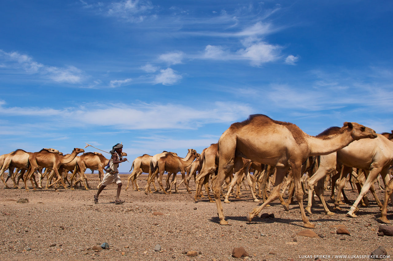 Nomadic Issa, a Somali clan, direct a camel caravan of camels through the Grand Bara desert in Djibouti. Grand Bara desert is the remains of a dried up lake. In summer, the plain floods during heavy rain.