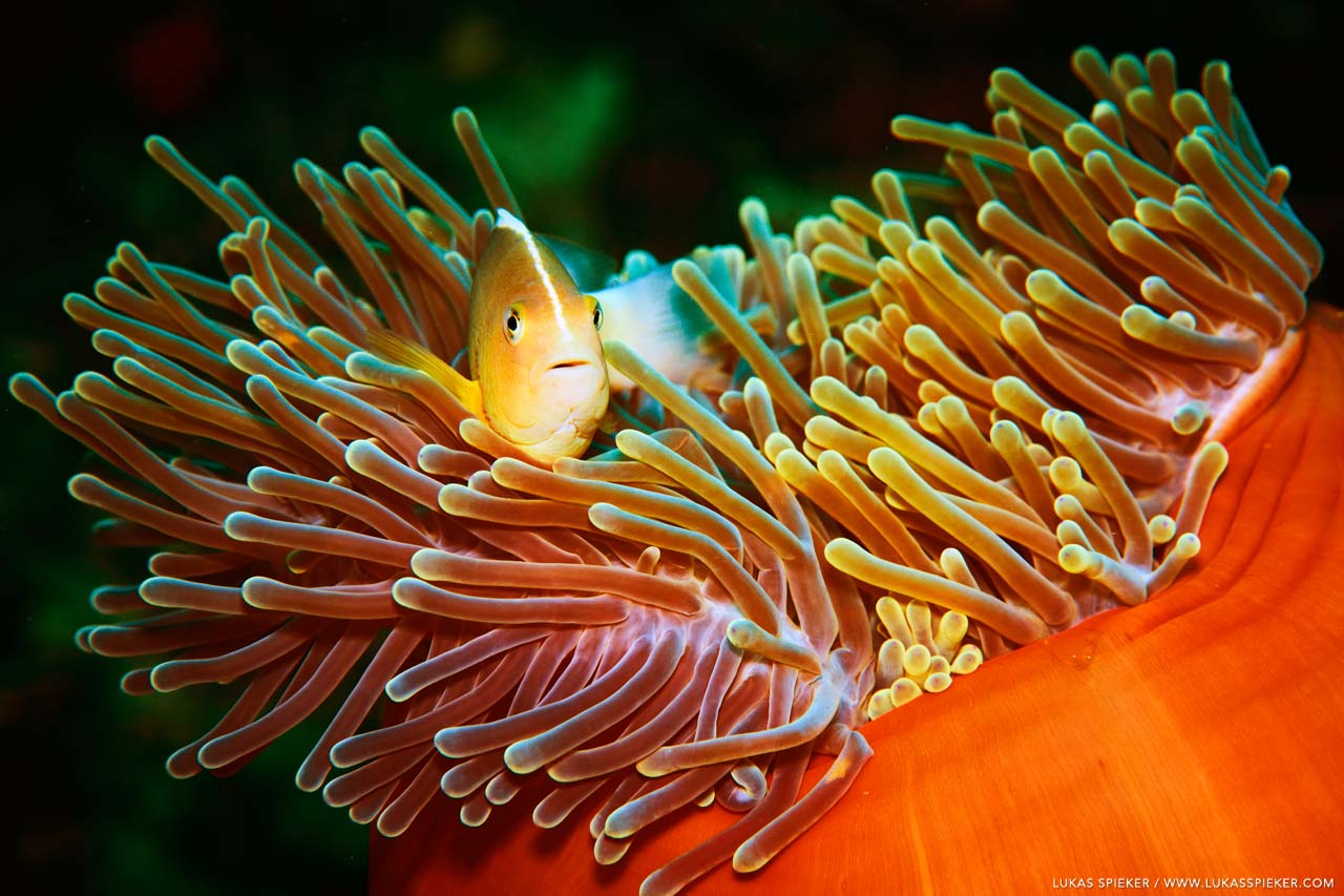 A nosestripe anemonefish (Amphiprion akallopisos) hides in the stinging tentacles of an anemone, Memba Bay, Strait of Mozambique.