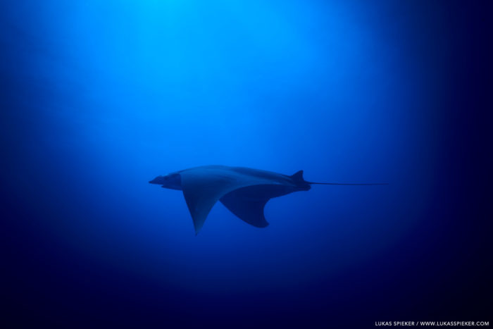 A Manta Ray, or Mobula tarapacana, glides through the Atlantic at Princess Alice Bank, Azores. Princess Alice Bank is a volcanic seamount on the Mid-Atlantic Ridge rising from more than two thousand metres to a depth of around 40 metres below the ocean surface.