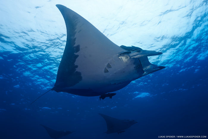 A Manta Ray, or Mobula tarapacana, glides through the Atlantic at Princess Alice Bank, Azores. Princess Alice Bank is a volcanic seamount on the Mid-Atlantic Ridge rising frommore than two thousand metres to a depth of around 40 metres below the ocean surface.