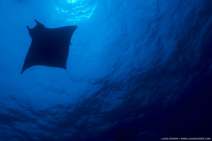 Mobula, manta ray, or devil ray. Former names included vampyrus, daemomanta, and diabolichthys, illustrating their shape. Indeed, they were seen as diabolic creatures.